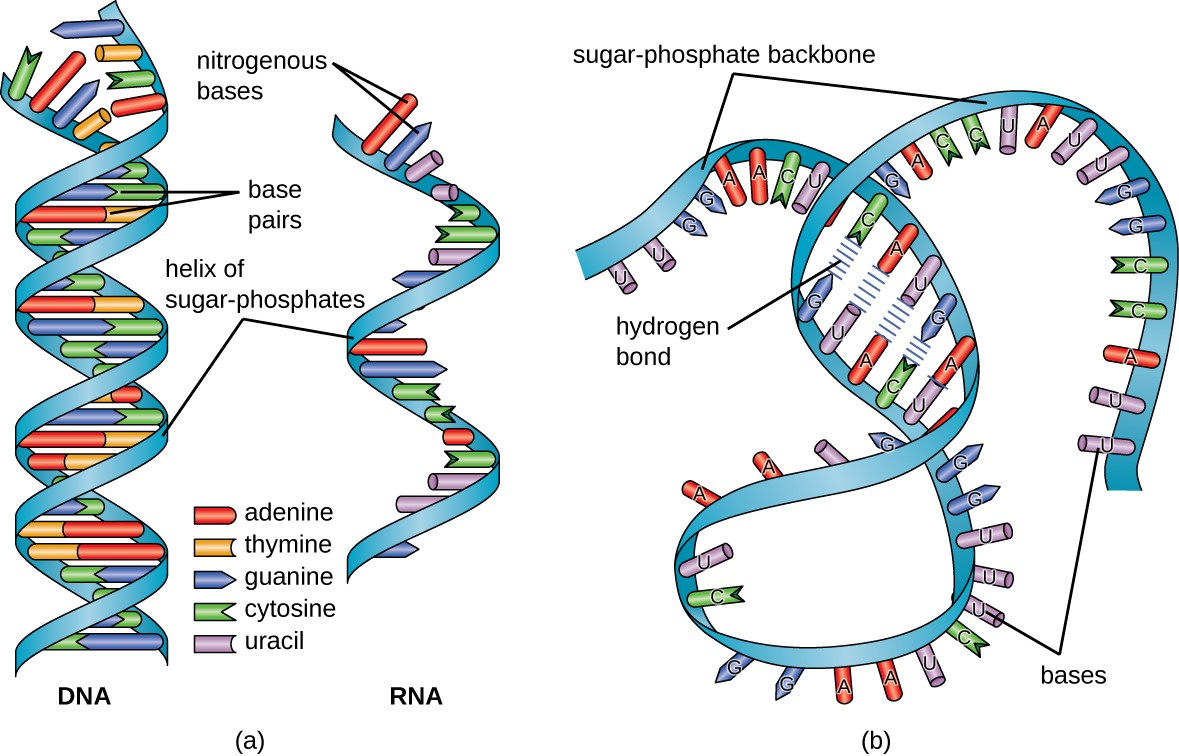 hight resolution of a a diagram of dna and rna dna has the double helix shape with