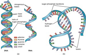 Structure and Function of RNA | Microbiology