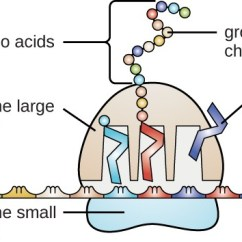 Microbiology Prokaryotic Cell Diagram Labeled Ceiling Fan Internal Wiring Structure And Function Of Rna |