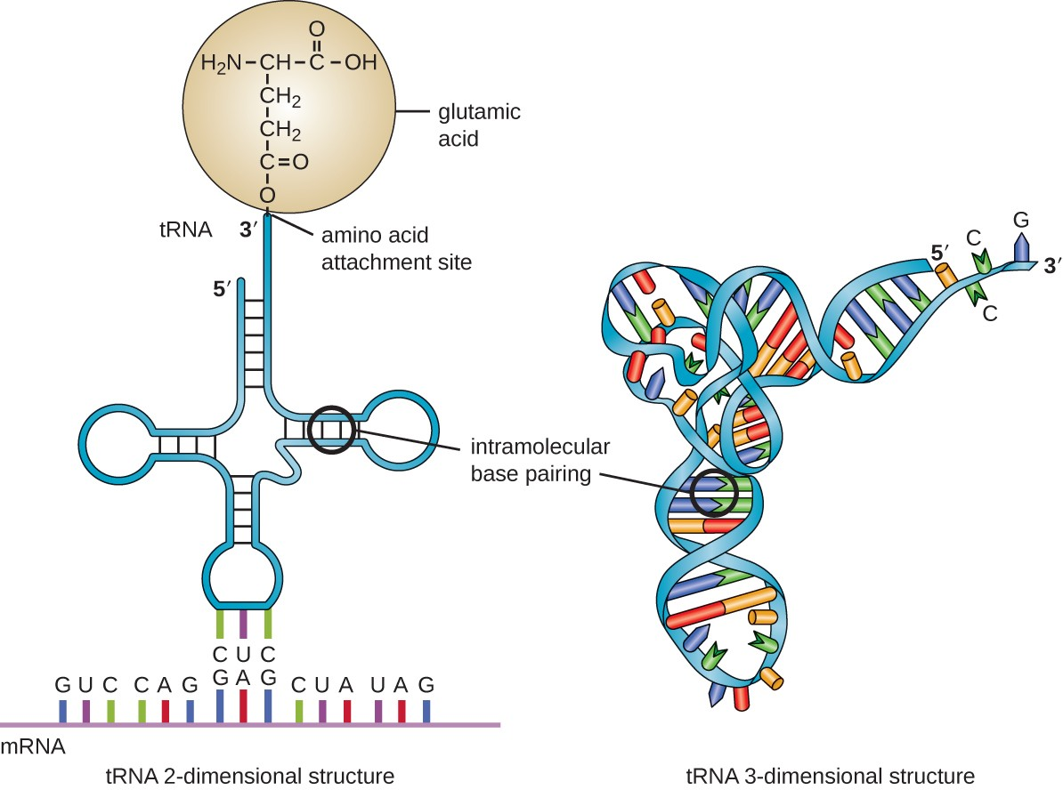 hight resolution of a diagram of the 2 dimentional trna which is a single long strand of rna