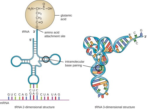 small resolution of a diagram of the 2 dimentional trna which is a single long strand of rna