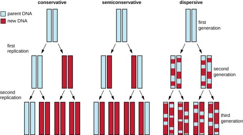small resolution of diagram showing 3 models of dna replication in the conservative model the original double helix