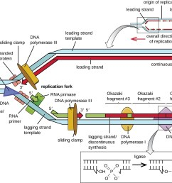 dna replication microbiology rh courses lumenlearning com simple dna replication steps dna replication diagram labeled [ 1295 x 1064 Pixel ]