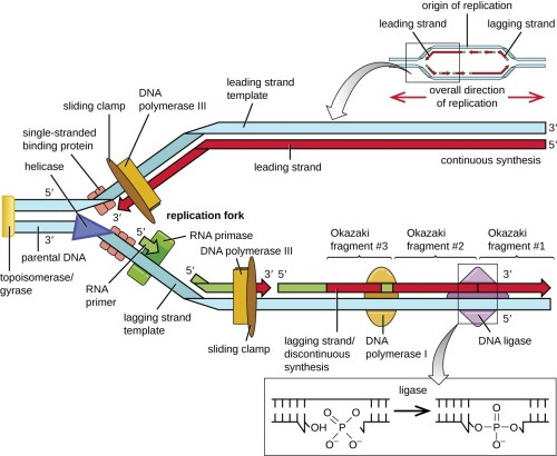 small resolution of dna replication microbiology rh courses lumenlearning com simple dna replication steps dna replication diagram labeled