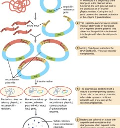a diagram explaining molecular cloning both foreign dna and a plasmid are cut with the [ 1200 x 1605 Pixel ]