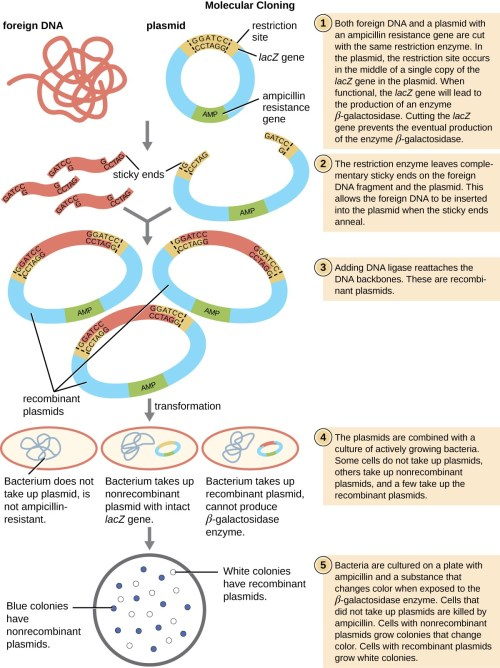 small resolution of a diagram explaining molecular cloning both foreign dna and a plasmid are cut with the