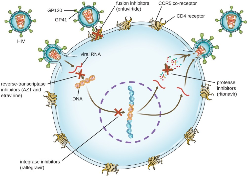 medium resolution of diagram showing hiv infection and locations where drugs can stop the infection gp120 and g
