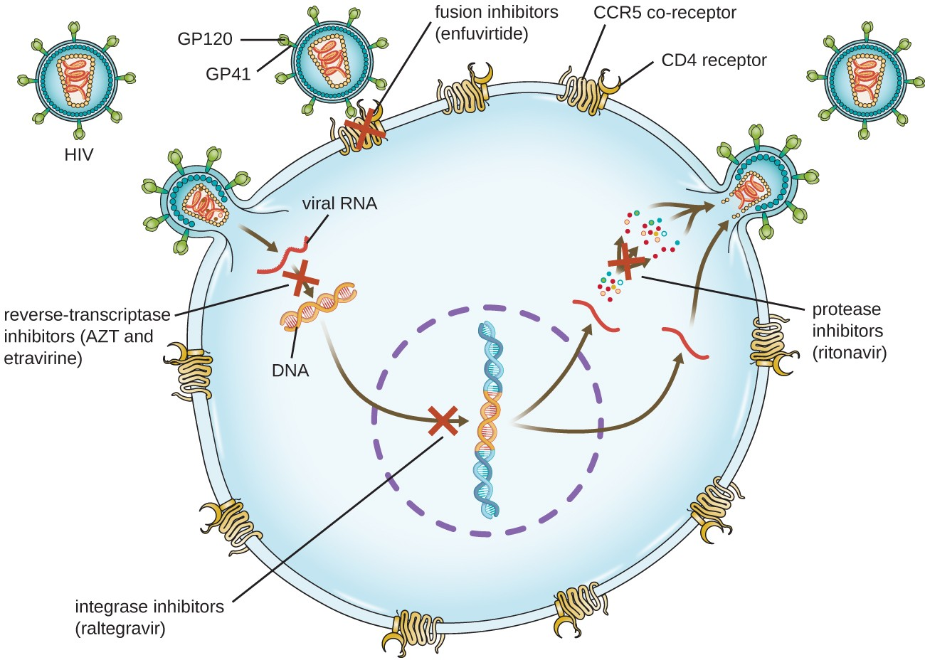 hight resolution of diagram showing hiv infection and locations where drugs can stop the infection gp120 and g