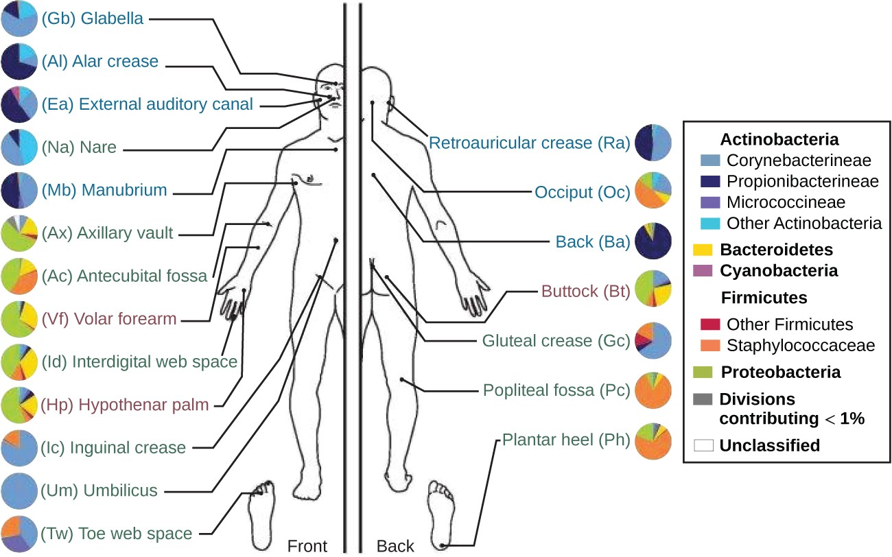Anatomy And Normal Microbiota Of The Skin And Eyes