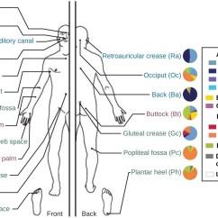 Antecubital Fossa Diagram Hunter Sailboat Rigging Anatomy And Normal Microbiota Of The Skin Eyes