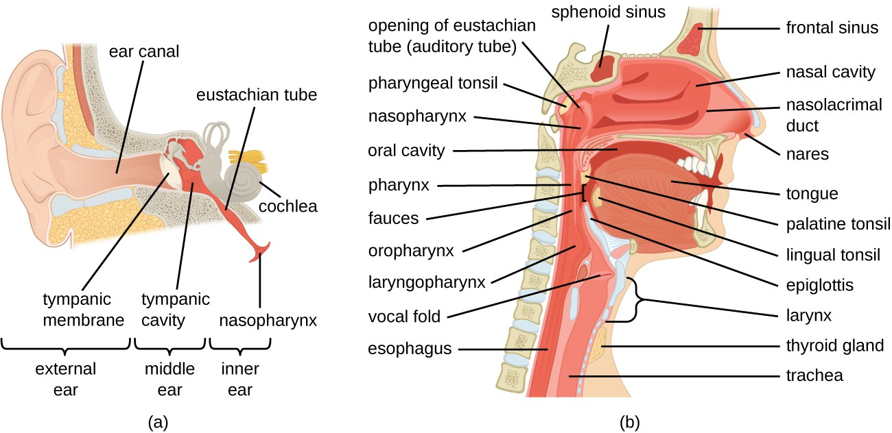 hight resolution of a diagram of ear a closeup shows the bones and membranes of the middle