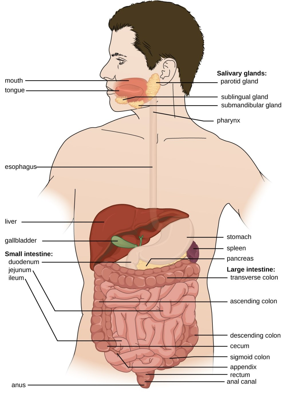 medium resolution of diagram of the digestive system the system begins with the mouth and tongue there