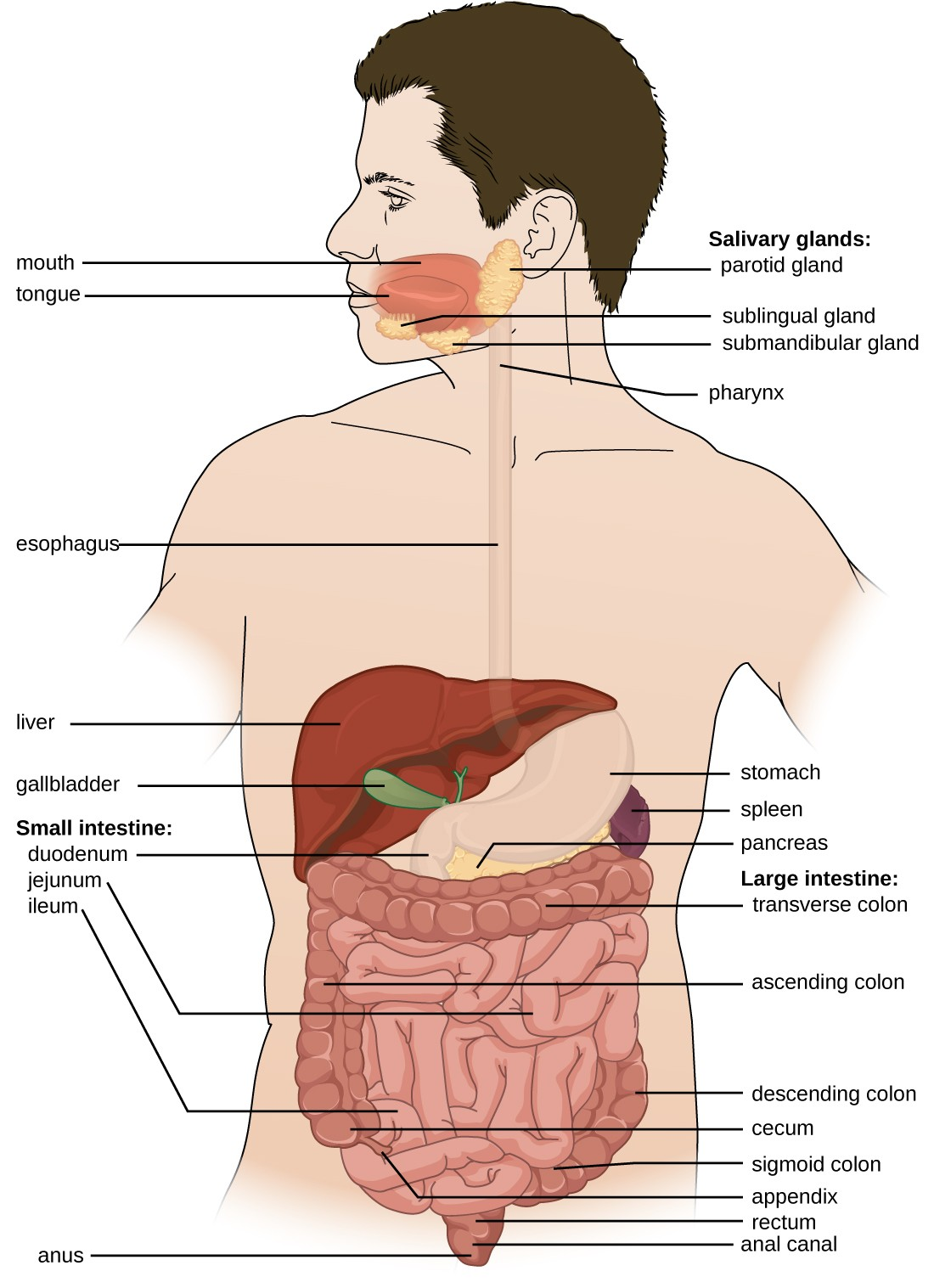 hight resolution of diagram of the digestive system the system begins with the mouth and tongue there
