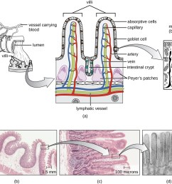 the small intestines with increasing magnification a is a diagram and b  [ 1300 x 1088 Pixel ]