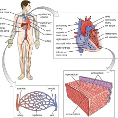 Vascular Anatomy Diagram Lower Wiring For Gfci Outlet Of The Circulatory And Lymphatic Systems Microbiology A System Blood From Part Body