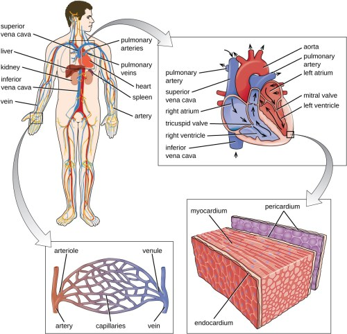 small resolution of a diagram of the circulatory system blood from the lower part of the body