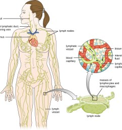 diagram of the lymphatic system lymph notes are swellings on tubes called lymph vessels [ 1256 x 1253 Pixel ]