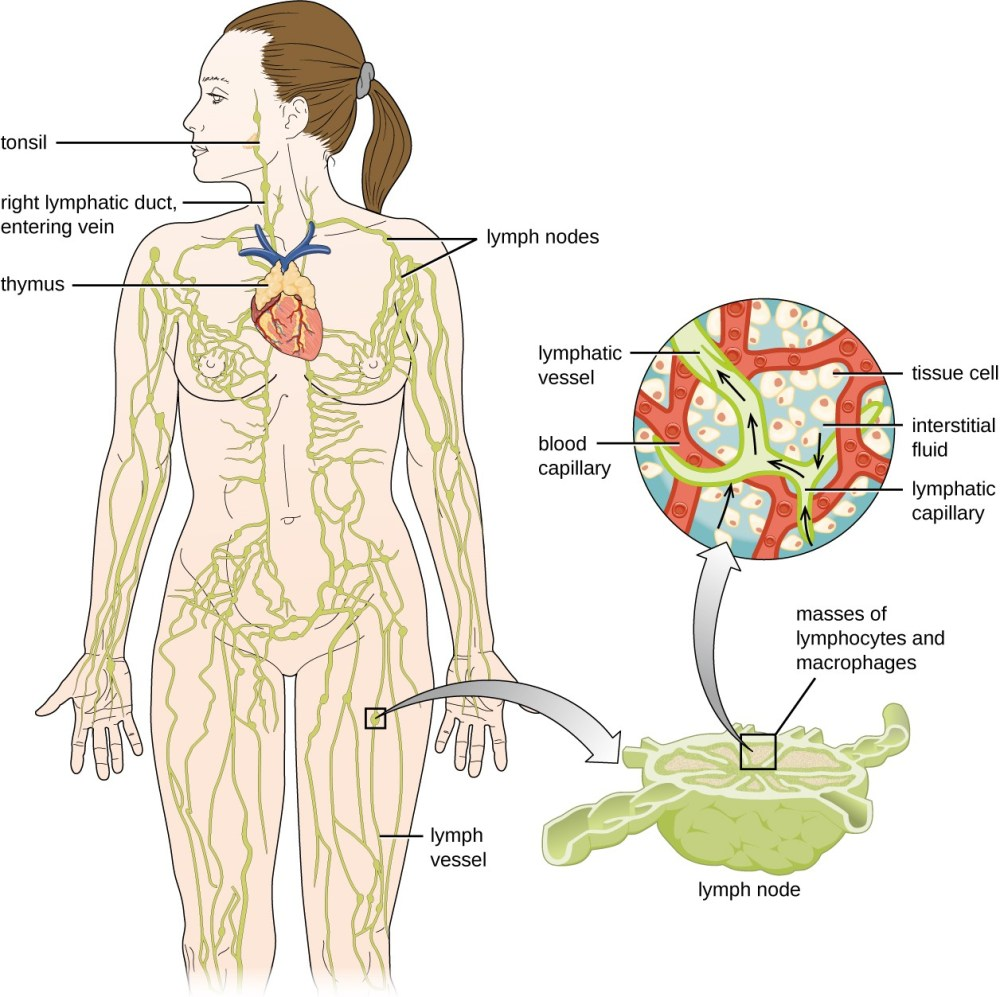 medium resolution of diagram of the lymphatic system lymph notes are swellings on tubes called lymph vessels