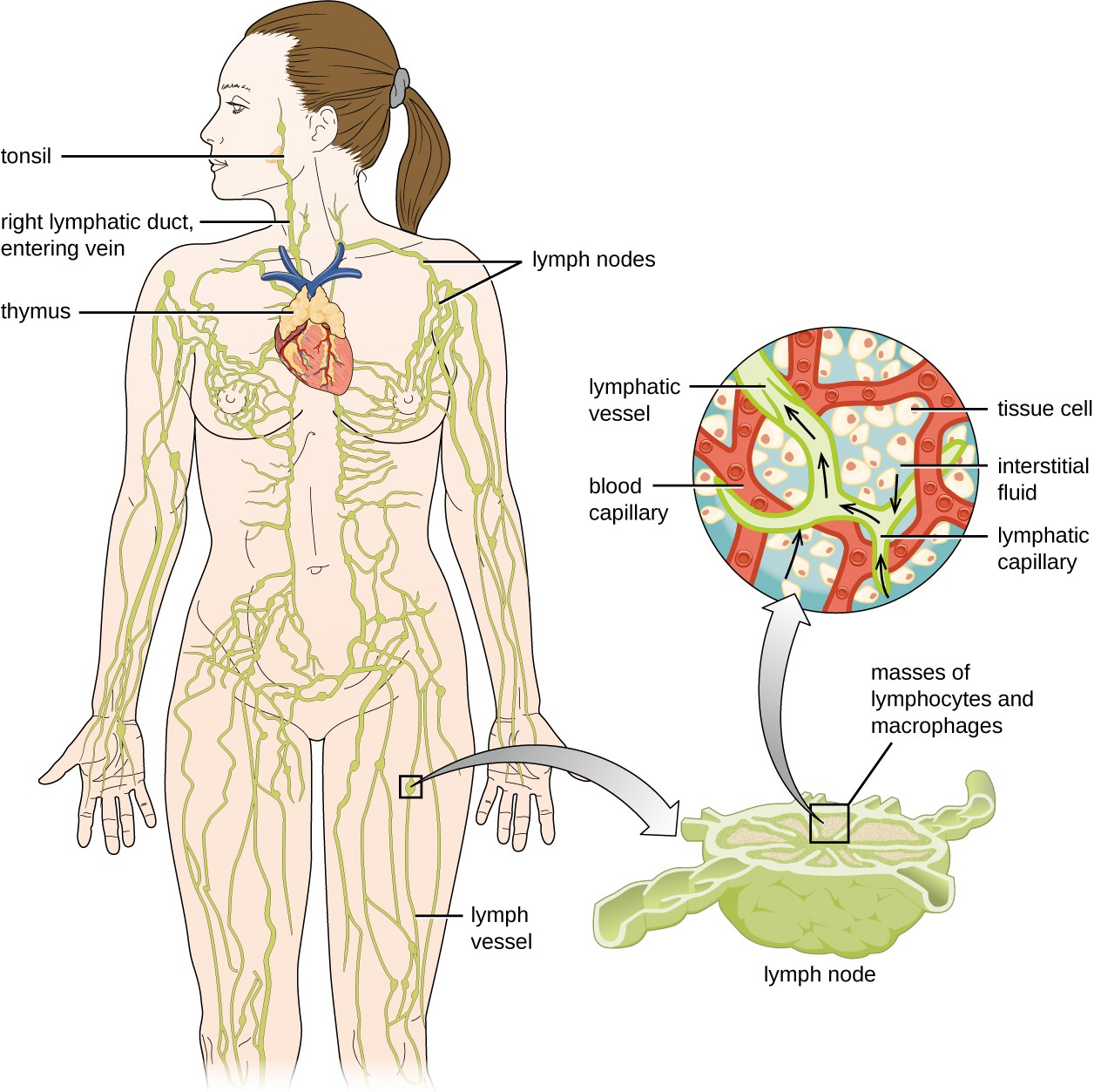 hight resolution of diagram of the lymphatic system lymph notes are swellings on tubes called lymph vessels