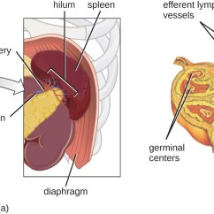 Diagram Nodes Lymphatic System Wiring For Round 4 Pin Trailer Plug Anatomy Of The Circulatory And Systems Microbiology A Showing That Spleen Is Found At End Pancreas