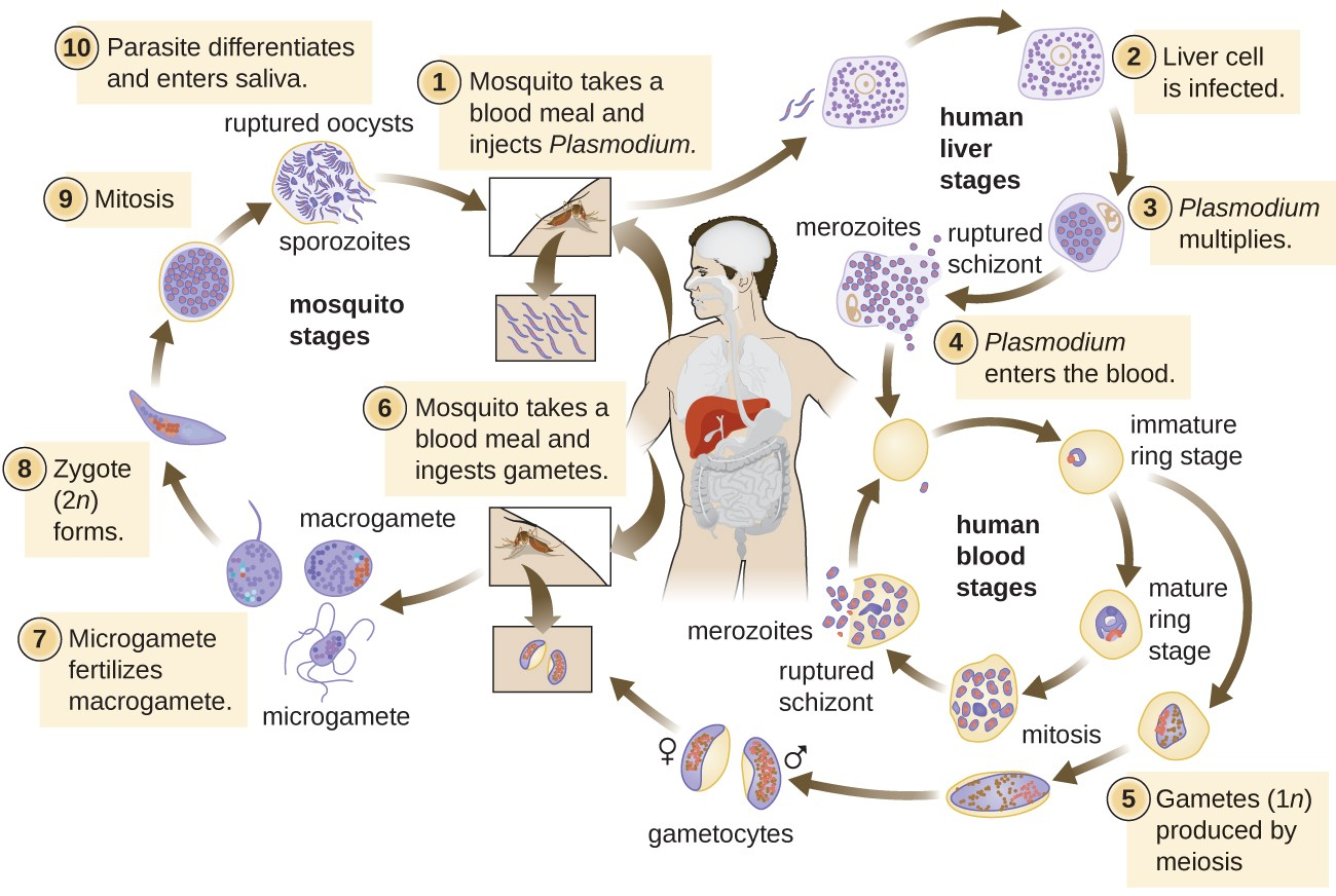 hight resolution of life cycle of plasmodium human liver stages 1 mosquito take a blood