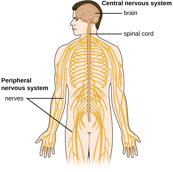 Human Body Systems Matching Answers