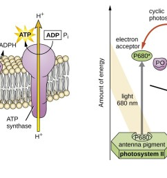 a drawing of a thylakoid membrane with proteins light strikes ps ii which breaks [ 2250 x 714 Pixel ]