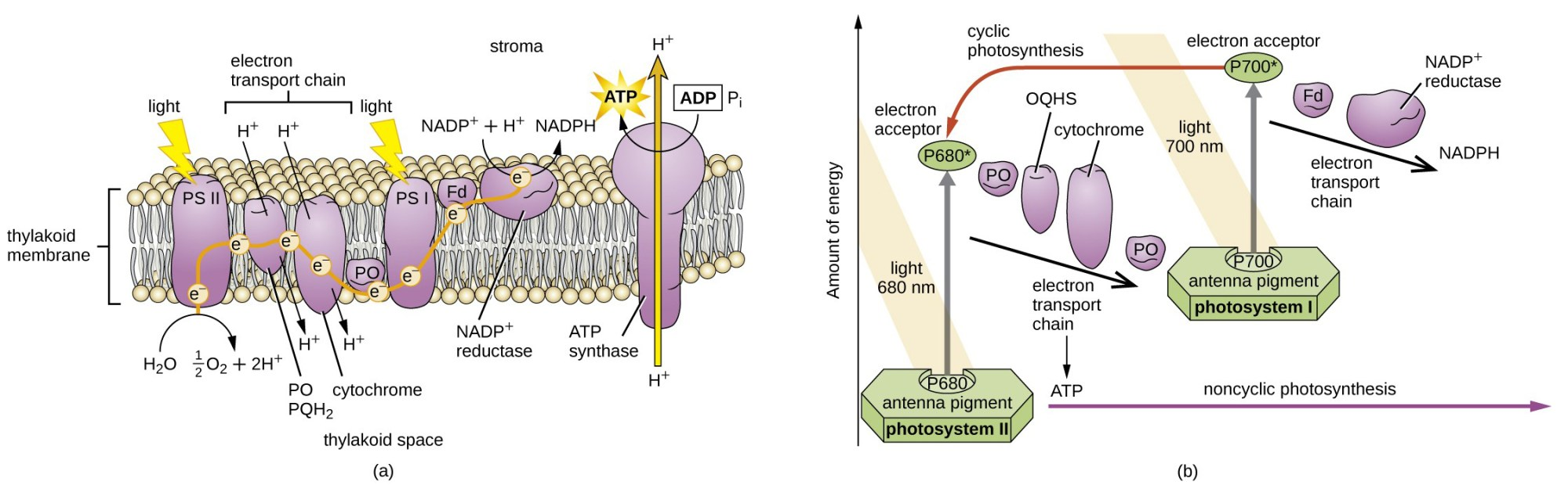 hight resolution of a drawing of a thylakoid membrane with proteins light strikes ps ii which breaks
