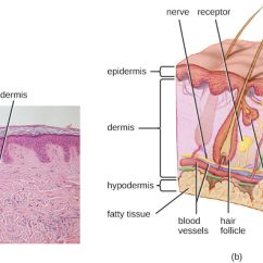 Dermis Layer Diagram Speakon Connector Wiring Anatomy And Normal Microbiota Of The Skin Eyes Microbiology A Micrograph Large Light Pink Region Labeled Thinner Dark