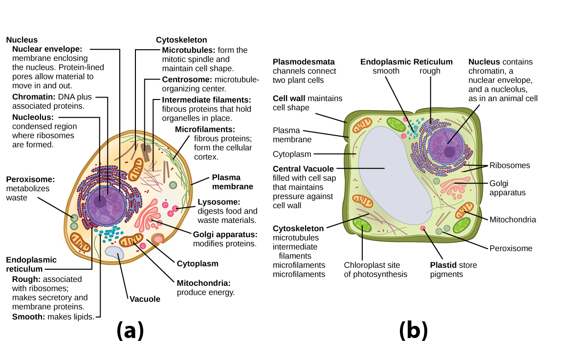hight resolution of identify membrane bound organelles found in eukaryotic cells