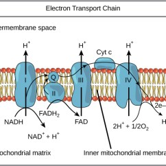 Electron Transport Chain Diagram For Dummies 2010 Honda Accord Fuse Box Biology Majors I This Illustration Shows The Embedded In Inner Mitochondrial Membrane