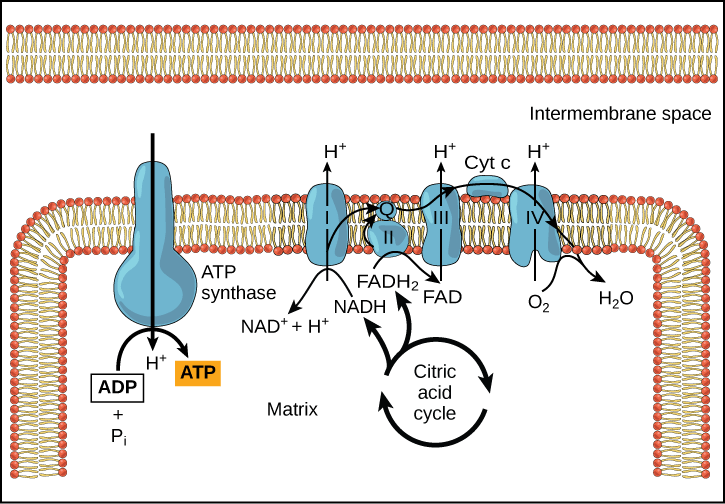 Electron Transport Chain   Biology for Majors I