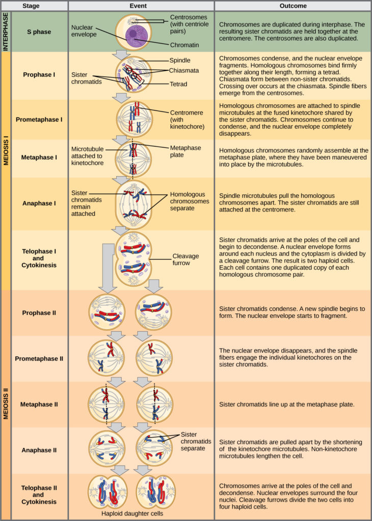 stages of meiosis diagram labeled led flasher unit wiring biology for majors i this illustration outlines the in interphase before begins
