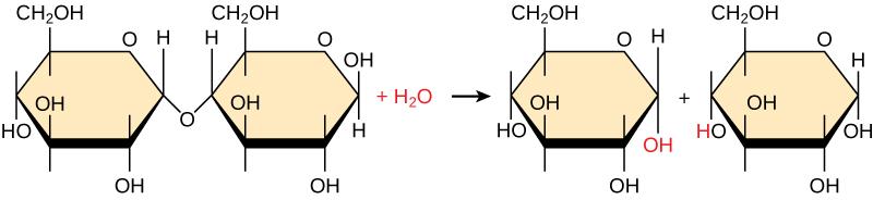 Se muestra la descomposición de la maltosa para formar dos monómeros de glucosa. El agua es un reactivo.