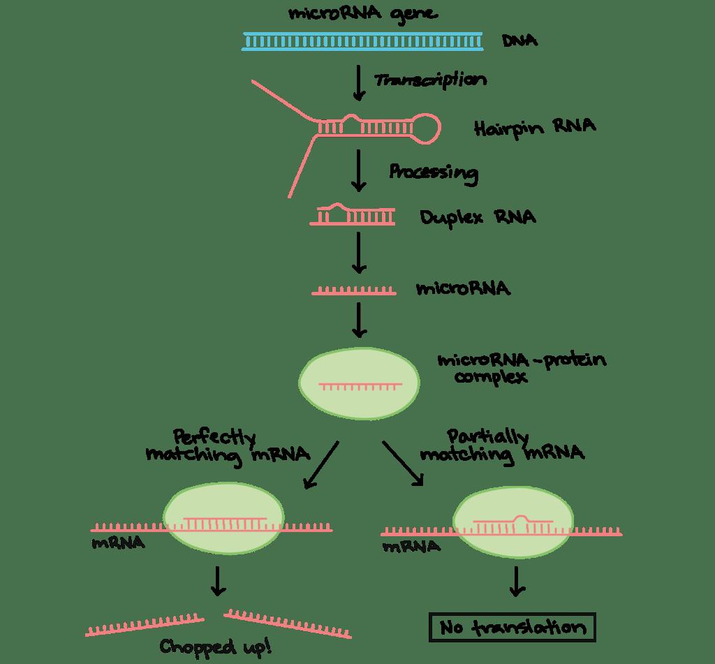match the letters on diagram of human brain rj45 splitter wiring rna post translational modification biology for majors i