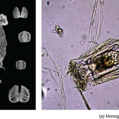 Rotifer Diagram Labeled Guitar Jack Socket Wiring Phylum Rotifera Biology For Majors Ii Scanning Electron Micrograph A Shows Rotifers From The Class Bdelloidea Which Have Long