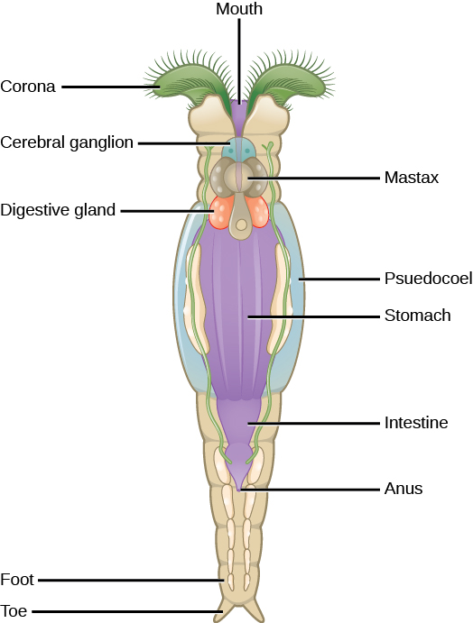 rotifer diagram labeled 1979 corvette stereo wiring phylum rotifera biology for majors ii the illustration shows long tube shaped animal with a crown like corona on