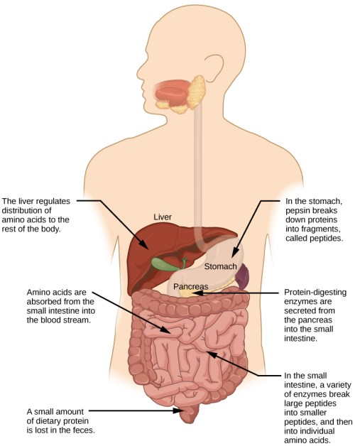 small resolution of protein digestion begins in the stomach where pepsin breaks proteins down into fragments called