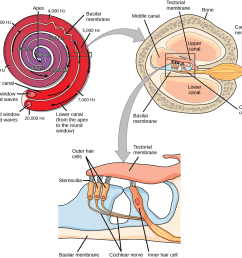 a series of three illustrations are shown the top illustration shows a cochlea which [ 1018 x 978 Pixel ]