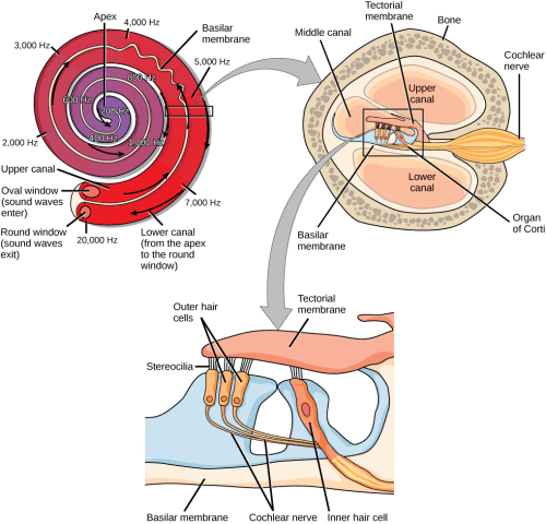 small resolution of a series of three illustrations are shown the top illustration shows a cochlea which