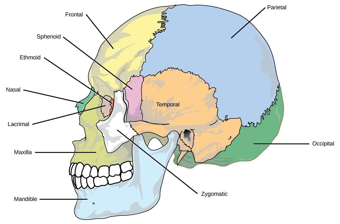 hight resolution of the eight cranial bones of the skull are shown