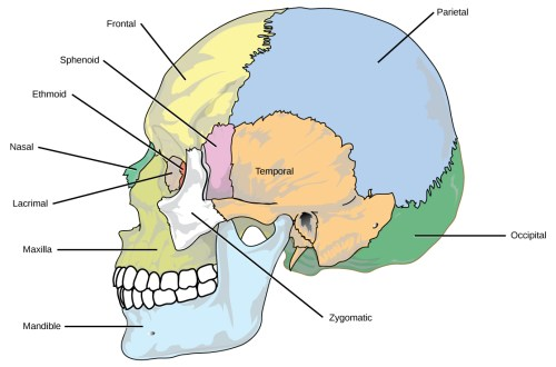 small resolution of the eight cranial bones of the skull are shown