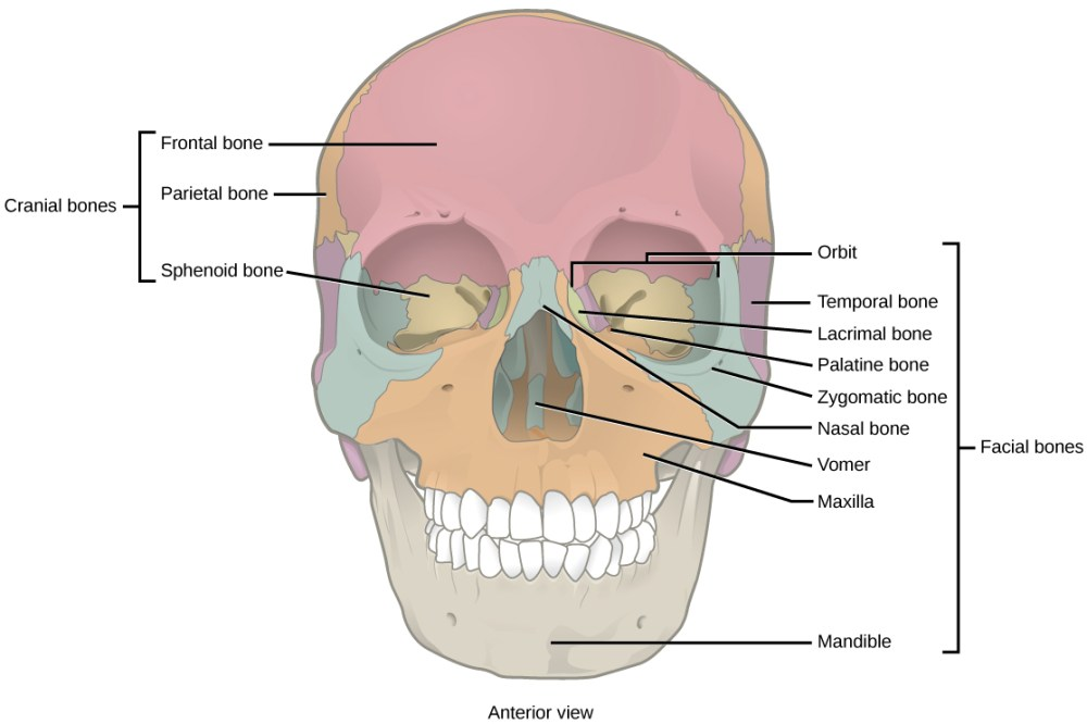 medium resolution of illustration shows a front end view of a skull the frontal bone is the