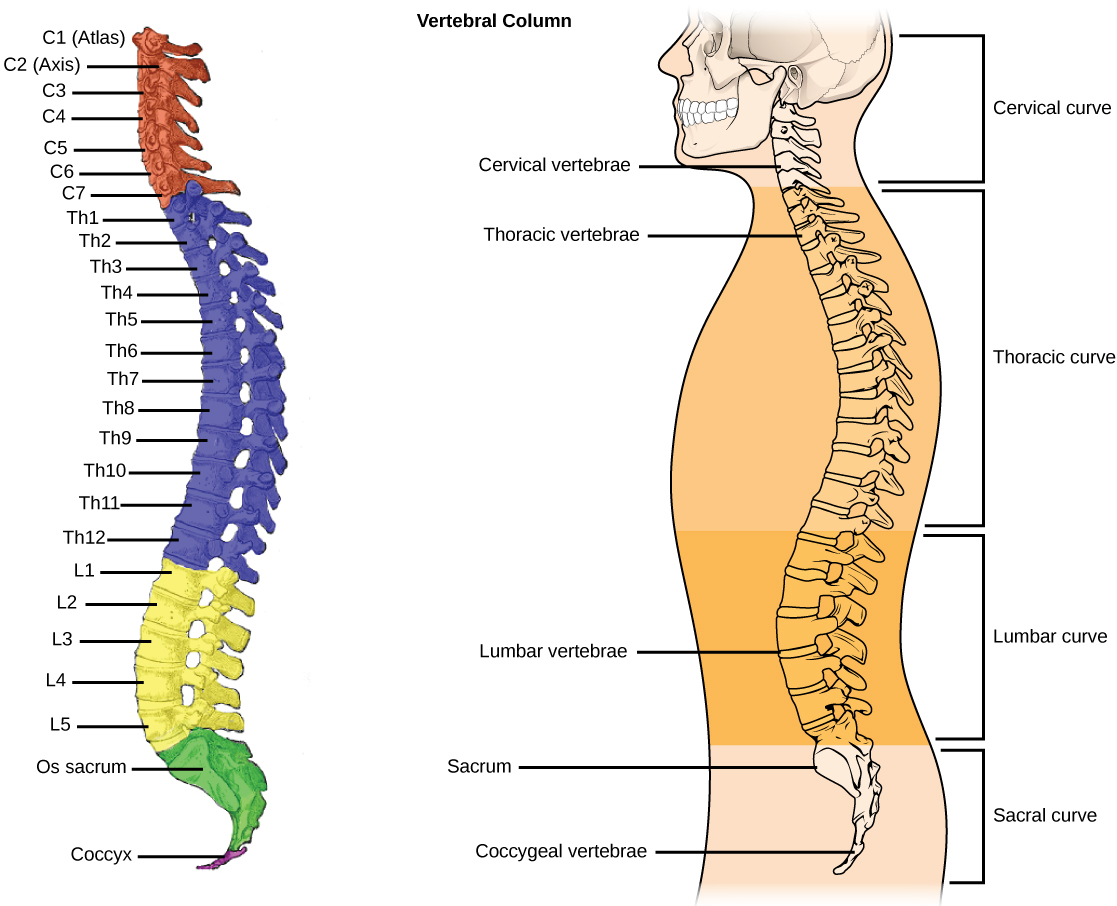 hight resolution of the vertebral column