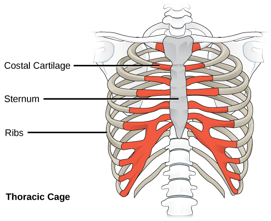 diagram of skeletal ribs leeson dc motor wiring human axial skeleton biology for majors ii illustration shows the rib cage and sternum which is bone in front