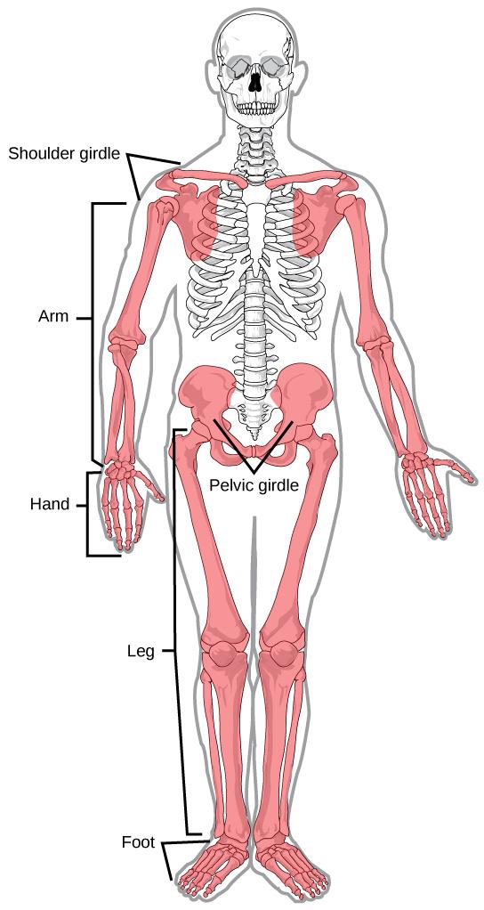 Upper thigh anatomy