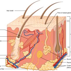 Skin Cross Section Diagram Dna Double Helix Structure And Function Of Biology For Majors Ii This Illustration Shows A Tissue The Outermost Layer Is Called