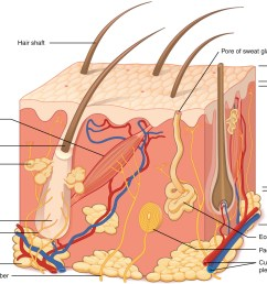 this illustration shows a cross section of skin tissue the outermost layer is called the [ 1200 x 941 Pixel ]