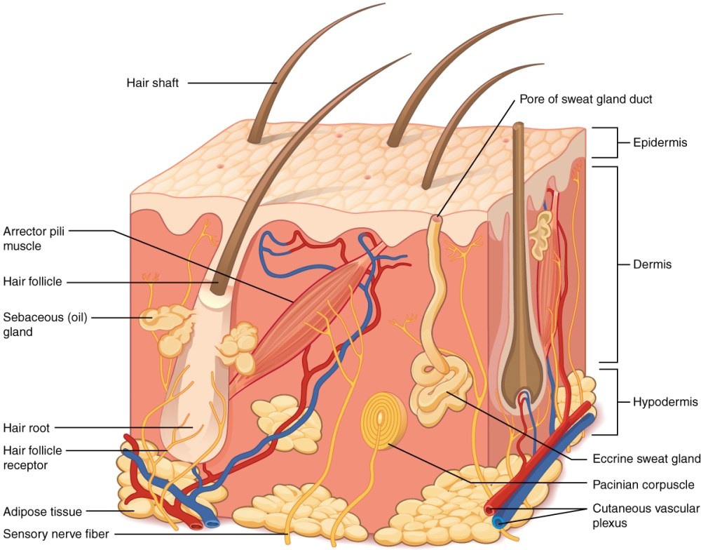 medium resolution of this illustration shows a cross section of skin tissue the outermost layer is called the