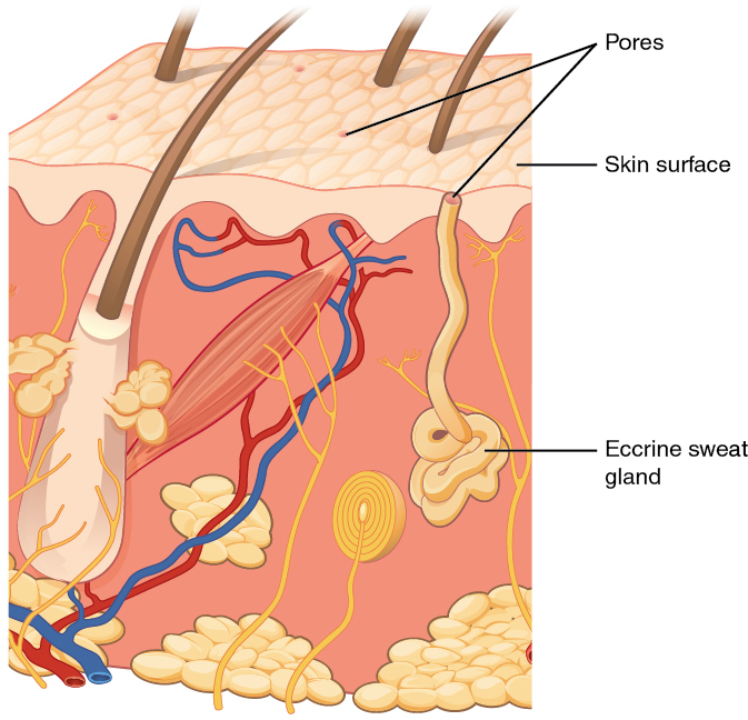 skin cross section diagram 208 to 24 volt transformer wiring accessory structures of the anatomy and physiology i this shows an eccrine sweat gland embedded in a tissue